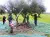 Oleoturismo Actividades de Turismo recogida de Aceitunas